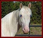 Introducing BUCK'S RASCAL FLATTS #21000113 - absolutely beautiful, 15.2 hand, double agouti cremello Tennessee Walking Horse stallion, with picture perfect conformation, a blaze and pretty blue eyes. Barefoot from birth he has a nice flat walk, a wonderful running walk and the nicest rocking horse canter ever and it's all natural. His color genetics are: eeAACrCr which means he will never have a red, black, smokey black, or smokey creme foal. Sired by The Buck Starts Here, out of Tanasi Topaz Goldmine, Buck's Rascal Flatts boasts a wide array of old time bloodlines, such as The Last Gold Chance, Gold On Parade, and Go Boy's Chatterbox.  His dam line includes Chance's Goldmine MF, Chance's Gold Dust H., John A's Chance, Red Bud's Rascal, Red Bud Allen, and RIP. This young stallion offers serious breeders the rare opportunity to expand the gene pool of their modern herds with a heavy dose of genuine, barefoot, walking blood. Standing in New Mexico