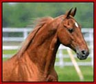 GENERATOR'S CHARMER is an exquisite 15.2 hand, chestnut/sorrel stallion with flaxen mane and tail. He is one of the last living sons of Pride�s Generator,  the Premier Sire of the breed. Charmer consistently produces elegant, talented, charming foals -  What more needs to be said!  Standing in Texas.