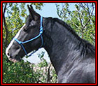 Introducing SCW HE'S A MIDNIGHT LEGEND TWHBEA #21000603 - beautiful, 15.2 hand, black sabino Tennessee Walking Horse stallion, by Delight�s Midnight Legend, out of a daughter of Slush Creeks Jubal S., SC She's Simply Stunning. He is Heritage-certified. His pedigree blends the genes of World Grand Champions, Sun's Delight D., Midnight Sun, and Go Boy's Shadow, with the really old time blood of Black Dust M.R., Sun's Merry Man, A Masterpiece and Wilson's Allen. Standing in Montana.