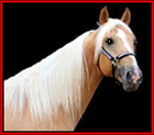 THE FOUNDATION GOLD is a 15.3 hand, golden palomino stallion by the late, great The Gold Rush Is On. The Foundation Gold is one of the few stallions alive who can still put Midnight Sun, Merry Go Boy, Wiser's Dimples, Merry Walker and Rodgers' Perfection on a foal's pedigree. Standing in Kaufman, Texas.