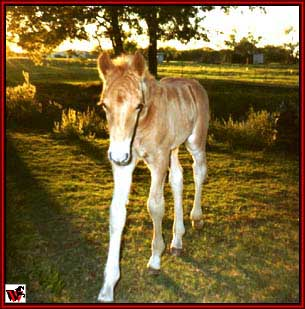 Gold Rush Stud colt