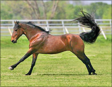 Mark Me Blue, Tennessee Walking Horse Stallion - Photo by Bob Langrish