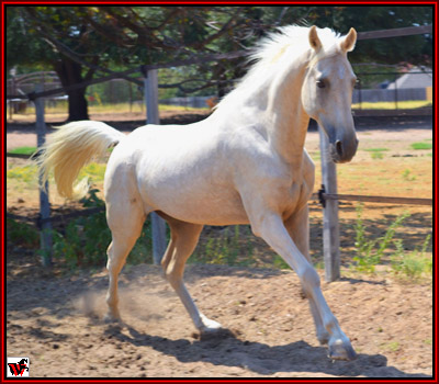 Tennessee Walking Horse Non Resident Horse A Harvey
