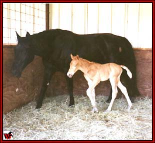 Ten High's Black Satin and Gold Rush stud colt